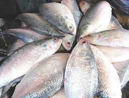 hilsha fish